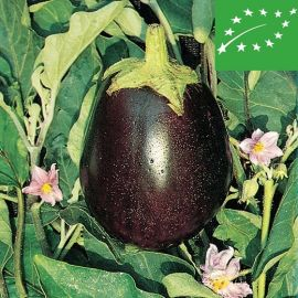 EGGPLANT -BLACK BEAUTY-organic