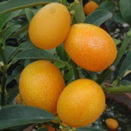KUMQUAT. (Fortunella japonica)