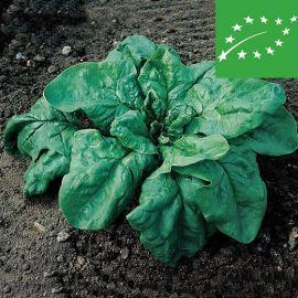 SPINACH - GIGANTE  DE INVIERNO - organic