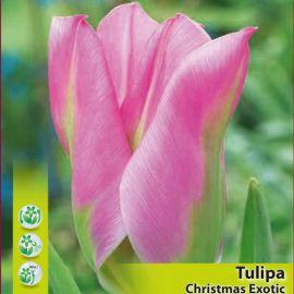 TULIPANO SEMPLICE PRECOCE- CHIRSTMAS EXOTIC-