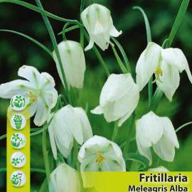 FRITILLARIA MELEAGRIS-ALBA-