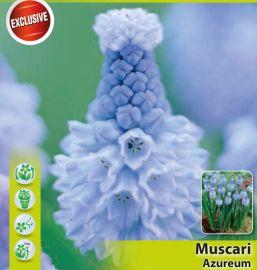 MUSCARI - AZUREUM-