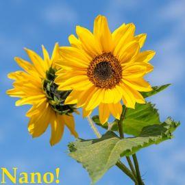 GIRASOLE NANO YELLOW PYGMY