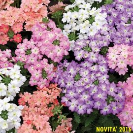 VERBENA HY -TUSCANY PASTEL- IN MISCUGLIO