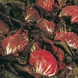 CHICORY  - PALLA DI FUOCO ROSSA - tape seeds