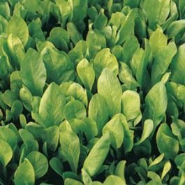 LOOSE-LEAF CHICORY - BIONDISSIMA DI TIRESTE - tape seeds