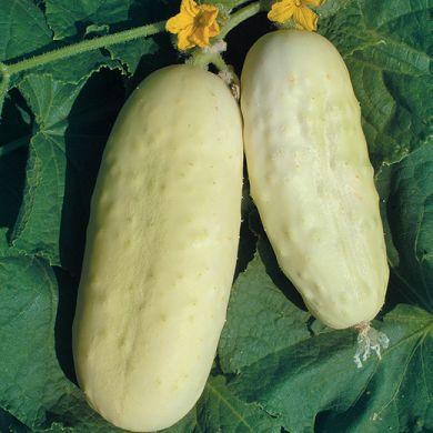 CETRIOLO - WHITE WONDER -