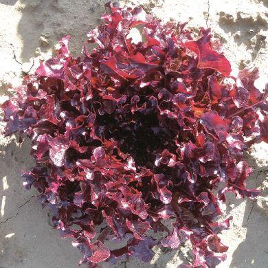 LETTUCE -RED SALAD BOWL-