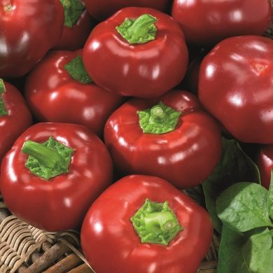 SWEET PEPPER  -TOPEPO ROSSO -