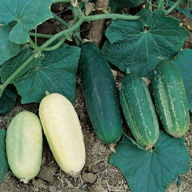 CUCUMBER - MIX OF ALL OUR VARIETIS -