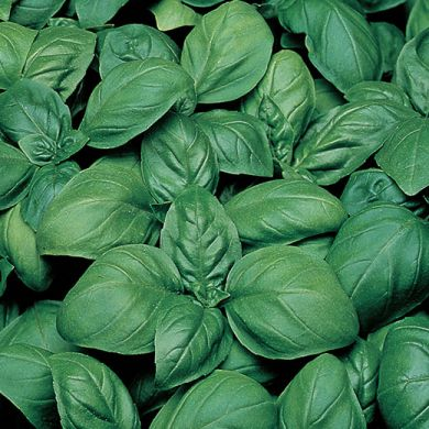 BASIL - GECOM - IN PILLS  MULTISEM (more seeds in one pill)