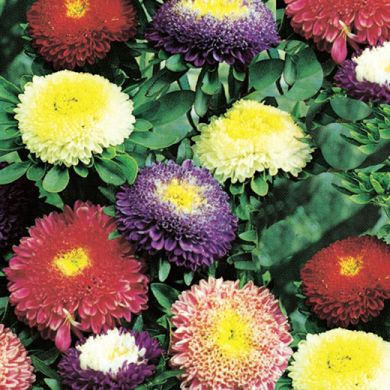 ASTER -POMPON -MIXED