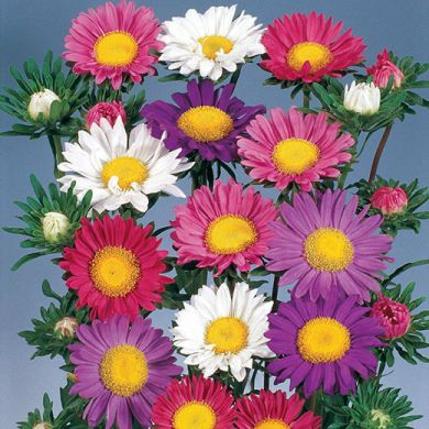 ASTER -CHINE LARGE SINGLE FLOWERED-