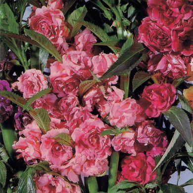 BEGLIUOMINI CAMELIA FLOWERED mixed