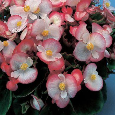 BEGONIA Semperflorens HF1 Olympia Starlet pink