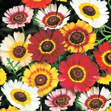 CHRYSANTHEMUM CARINATUM single flowered mixed