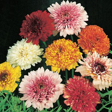 CHRYSANTHEMUM CARINATUM double flowered mixed