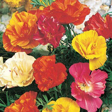 ESCHSCHOLZIA semi double flowered mixed