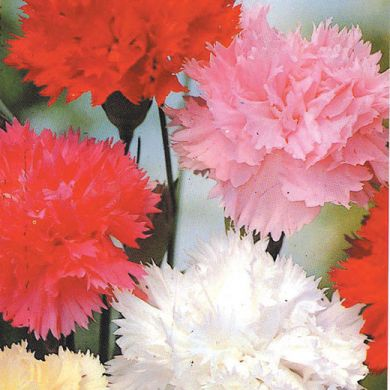 CARNATION CHABAUD double mixed