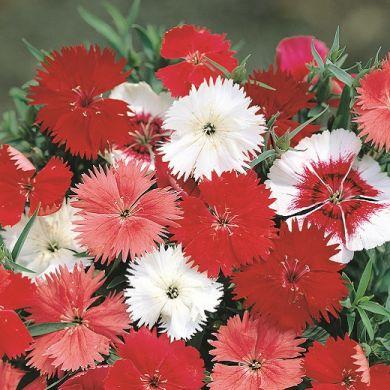 """CARNATION chinensis dwarf single flowered """"Persian carpet"""""""