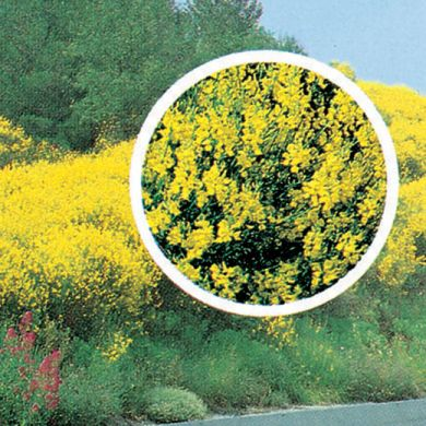 GINESTRA DI SPAGNA ( Spartium junceum )