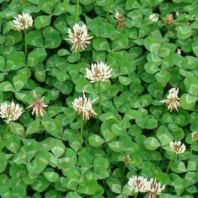 TRIFOGLIO LADINO -REGAL- (Trifolium repens giganteum)