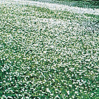 TRIFOGLIO  NANISSIMO  PER  TAPPETO  VERDE A  FIORELLINI  BIANCHI (Trifolium repens)