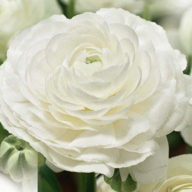 RANUNCOLO- AVIV WHITE-