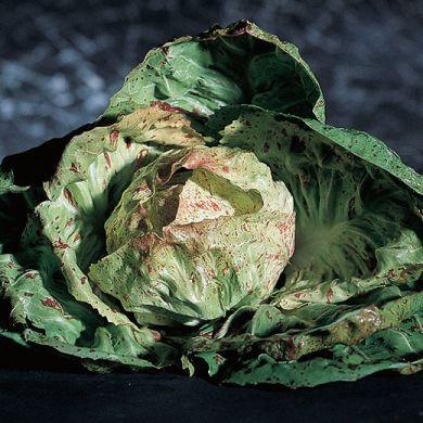 CHICORY -VARIEGATA DI LUSIA- tape seeds