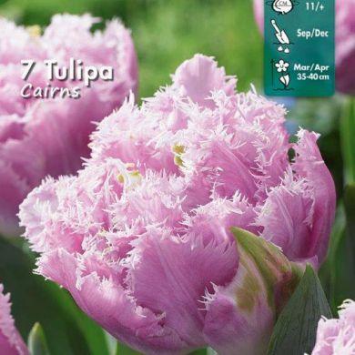TULIPANO FRANGIATO-CAIRNS-