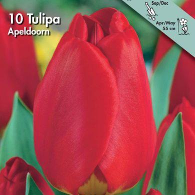 TULIPANO DARWIN IBRIDO -APELDOORN-