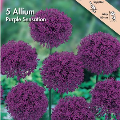 ALLIUM -PURPLE SENSATION-