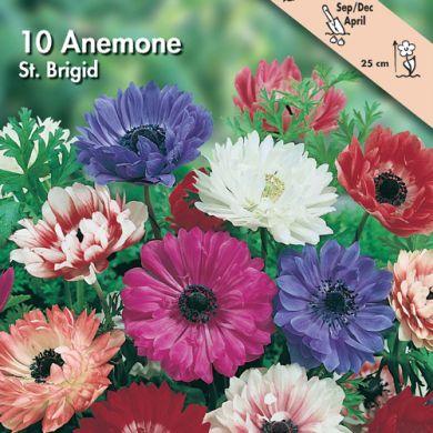 ANEMONE -ST. BRIGID- IN MISCUGLIO (Coronaria)