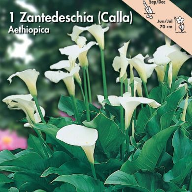 ZANTEDESCHIA - AETHIOPICA (Calla)