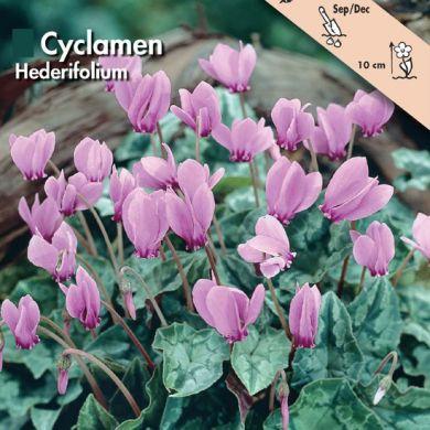 CICLAMINI - CYCLAMEN HEDERIFOLIUM - BULBI