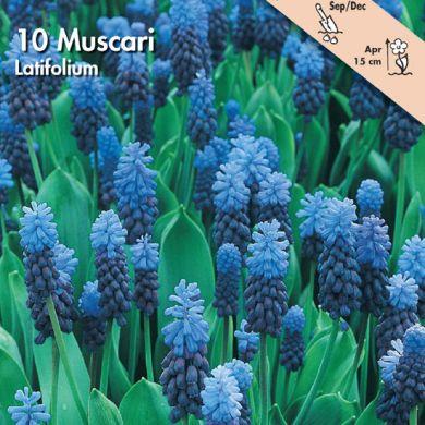 MUSCARI -LATIFOLIUM-
