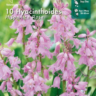 HYACINTHOIDES - HISPANICA ROSA-