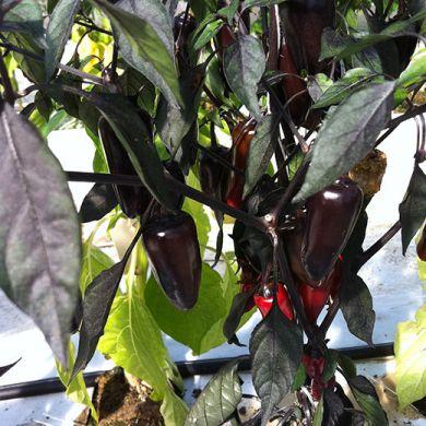 Peperoncino Hybrid F1 Black Pepper