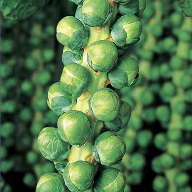 BRUSSELS SPROUTS HYBRID F1 -IRENE-