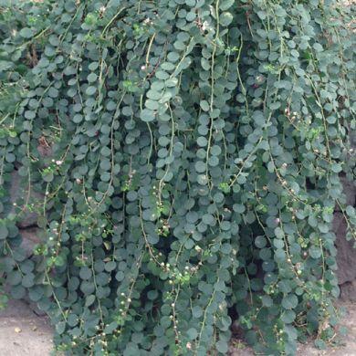 CAPPERO (Capparis spinosa, C. inermis) - Pianta in vaso