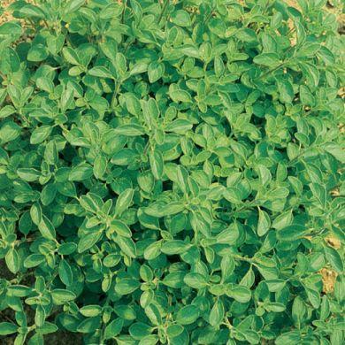 ORIGANO SICILIANO O PERSIA GENTILE (Origanum onites)