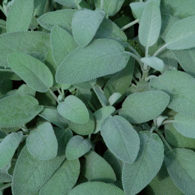 SALVIA A FOGLIA LARGA -  (Salvia officinalis latifolia) - Pianta in vaso