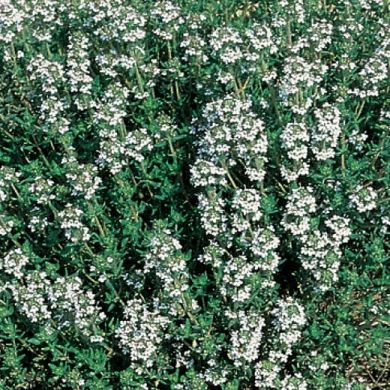 TIMO COMUNE (Thymus vulgaris) - Pianta in vaso