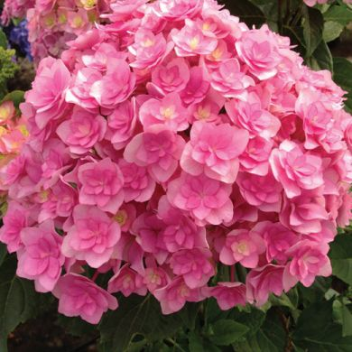 ORTENSIA (Hydrangea) You And Me® - TOGETHER ROSA -