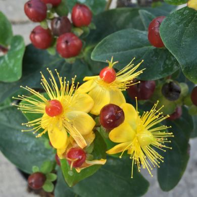 HYPERICUM- MAGICAL RED FLAME- IPERICO