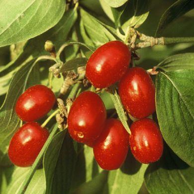 CORNIOLO ( Cornus mas )