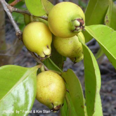 GUAVA GIALLA  ( Psidium cattleianum )