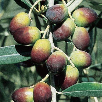 OLIVI - LECCINO (Varietà da olio)