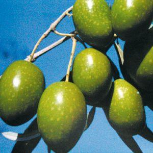 OLIVO - SANTA CATERINA (Varietà da mensa)