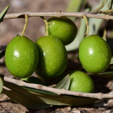 OLIVO - BIANCHERA(Varietà da olio) -